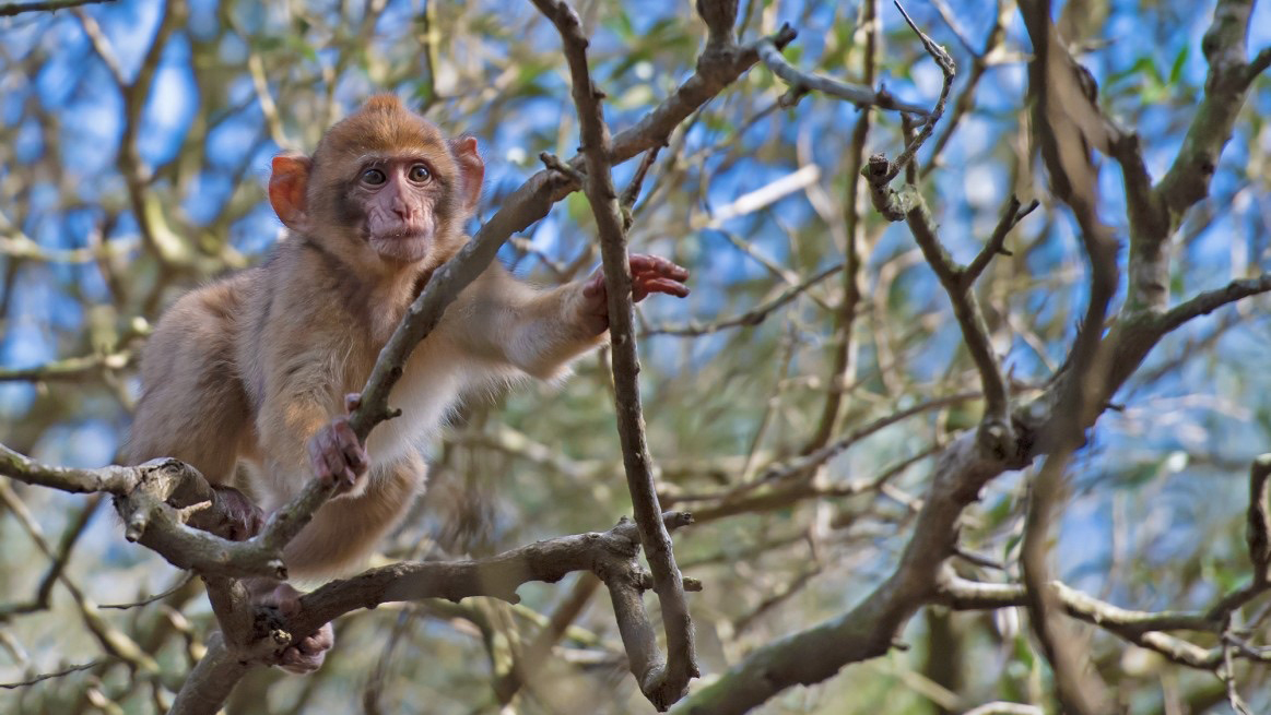 A monkey in a tree in Gibraltar