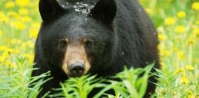 Bear Awareness Safety