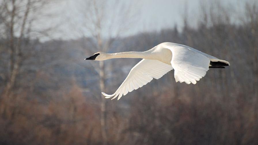 Swan migrating