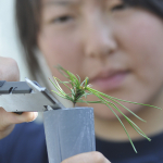 Robin Chang doing measurements on a seedling study in the greenhouse.