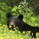 Black bear hides behind flowers