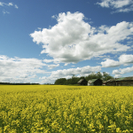 Dawson Creek canola field