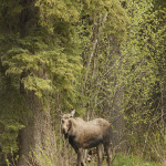 Moose in the Pine Pass