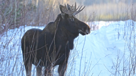 A bull moose on the grounds of the Prince George Airport Authority